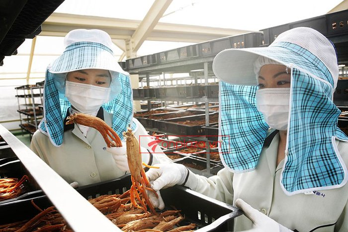 một sô hình ảnh trong quá trình chế biến và sản xuất hồng sâm chính phủ kgc hôp thiếc 1