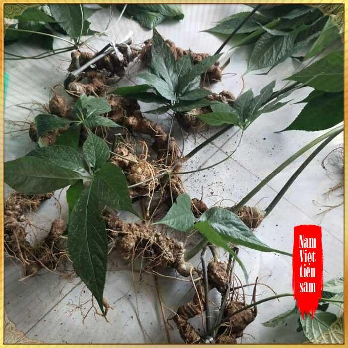 Sâm Ngọc Linh trồng loại 1 (1,3 - 2 lạng/củ), 10 – 20 năm tuổi, 4 đến 7củ /kg) NS180