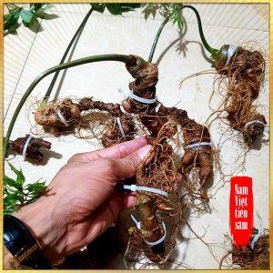 Sâm Ngọc Linh trồng loại 8 củ/kg
