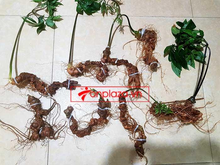 Sâm Ngọc Linh trồng loại 8 củ/kg 3