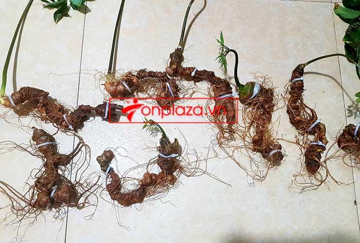 Sâm Ngọc Linh trồng loại 8 củ/kg 4