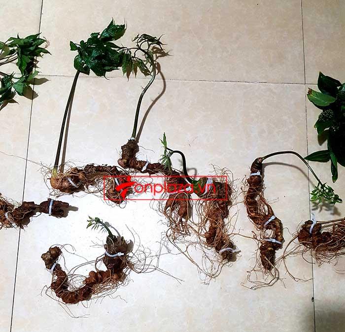 Sâm Ngọc Linh trồng loại 8 củ/kg 5