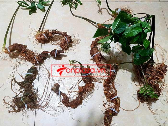 Sâm Ngọc Linh trồng loại 8 củ/kg 6
