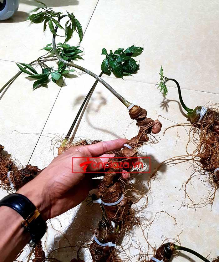 Sâm Ngọc Linh trồng loại 8 củ/kg 7