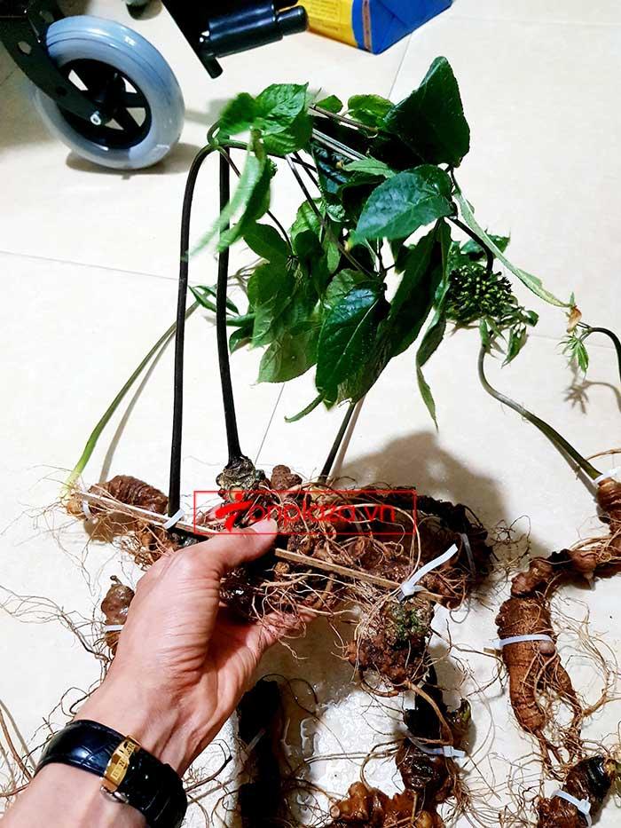 Sâm Ngọc Linh trồng loại 8 củ/kg 8