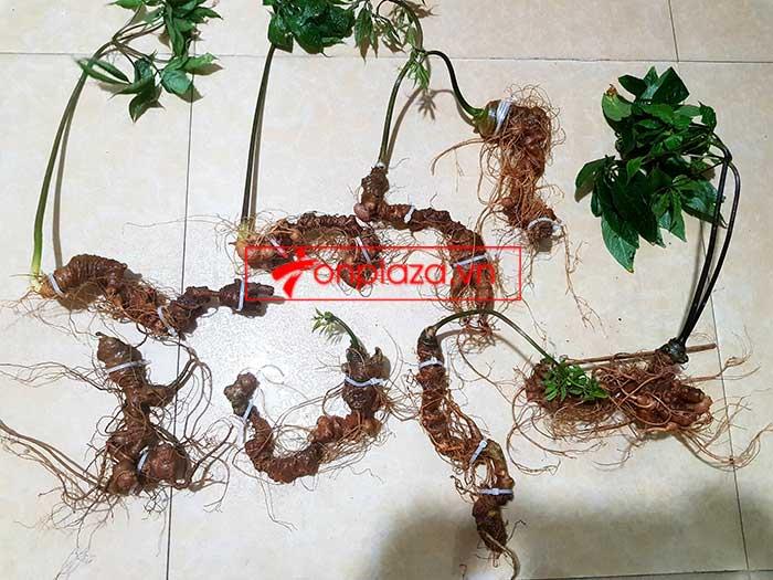 Sâm Ngọc Linh trồng loại 8 củ/kg 9