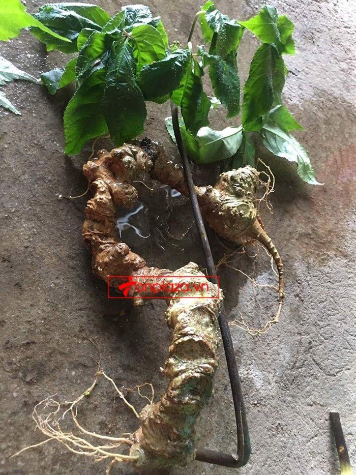 Sâm Ngọc Linh rừng loại 5 củ/kg 3
