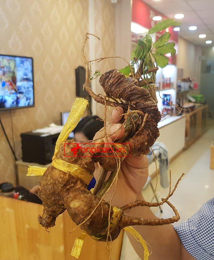 Sâm Ngọc Linh rừng loại 5 củ/kg 4
