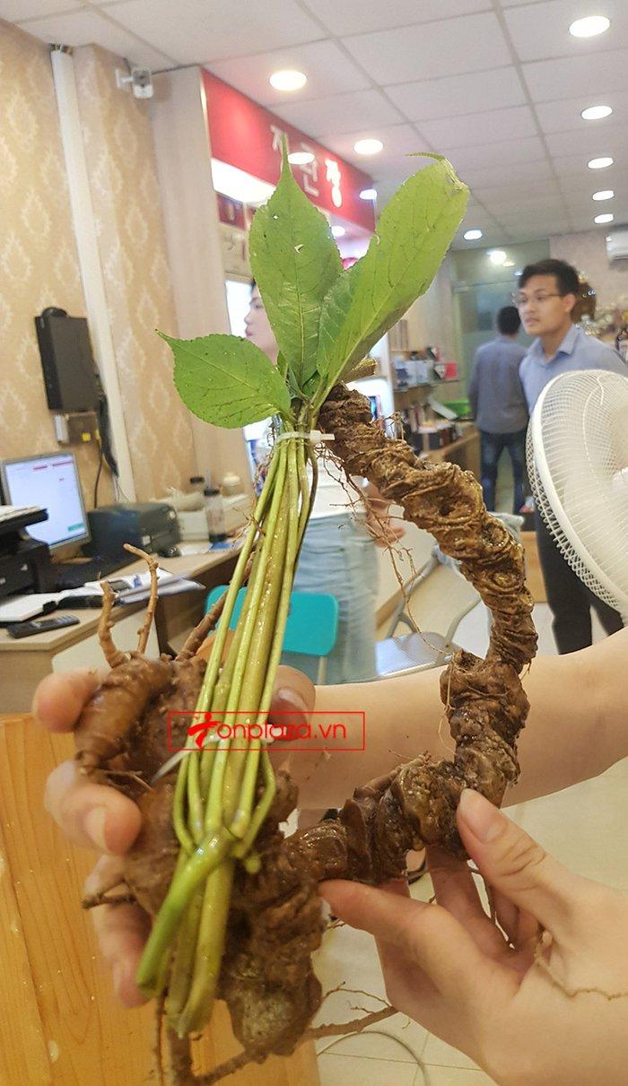 Sâm Ngọc Linh rừng loại 5 củ/kg 6