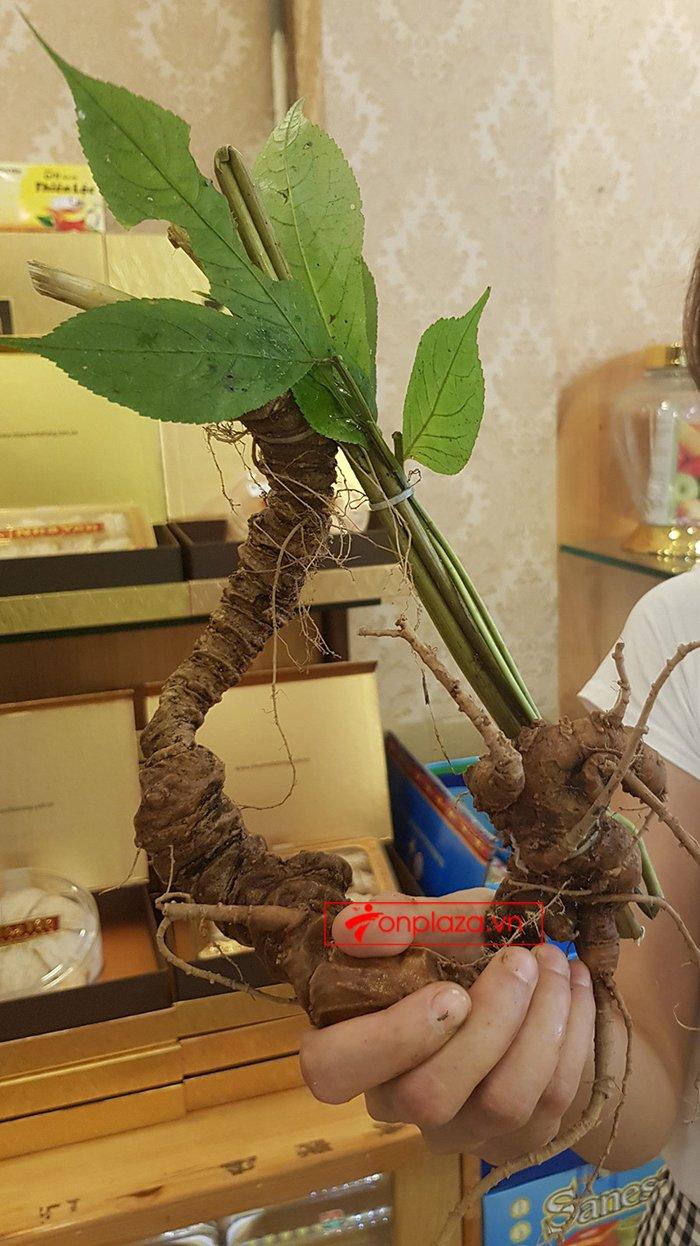 Sâm Ngọc Linh rừng loại 5 củ/kg 7